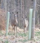White-tailed Deer (1), Gordon Natural Area