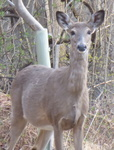 White-tailed Deer (2), Gordon Natural Area