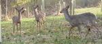 White-tailed Deer (3), Gordon Natural Area