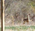 White-tailed Deer (4), Gordon Natural Area
