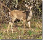 White-tailed Deer (5), Gordon Natural Area