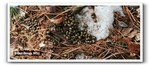White-tailed Deer droppings, Gordon Natural Area