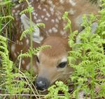 White-Tailed Deer Fawn, Gordon Natural Area