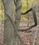 Oriental Bittersweet & Red Oak, Gordon Natural Area (3)