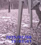White-tailed Deer through the Wildlife Cam, Gordon Natural Area (1)