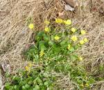 Lesser Celandine, Gordon Natural Area (1)