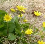Lesser Celandine, Gordon Natural Area (2)