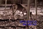 White-tailed Deer through the Wildlife Cam, Gordon Natural Area (4)