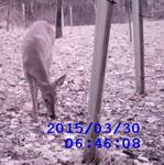 White-tailed Deer through the Wildlife Cam, Gordon Natural Area (6)