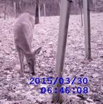 White-tailed Deer through the Wildlife Cam, Gordon Natural Area (6)