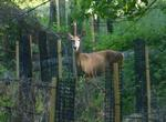 White-tailed Deer among the New Plantings, Gordon Natural Area