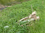 May 1 2014 Flood aftermath, East Bradford Riparian Forest Project, Shaw's Bridge (3)