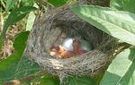 American Goldfinch nest, East Bradford Riparian Forest