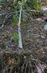 Tree Fall Study, Gordon Natural Area, Tree #38