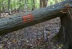 Tree Fall Study, Gordon Natural Area, Tree #35