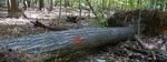Tree Fall Study, Gordon Natural Area, Tree #33