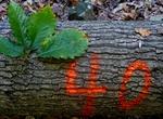 Tree Fall Study, Gordon Natural Area, Tree #40
