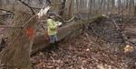 Tree Fall Study, Gordon Natural Area, Tree #42