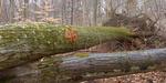 Tree Fall Study, Gordon Natural Area, Tree #46