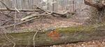 Tree Fall Study, Gordon Natural Area, Tree #45