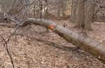 Tree Fall Study, Gordon Natural Area, Tree #44
