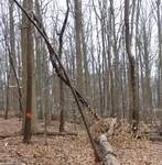 Tree Fall Study, Gordon Natural Area, Tree #48