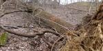 Tree Fall Study, Gordon Natural Area, Tree #51