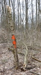 Tree Fall Study, Gordon Natural Area, Tree #49