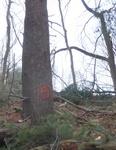 Tree Fall Study, Gordon Natural Area, Tree #57