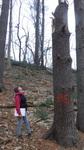 Tree Fall Study, Gordon Natural Area, Tree #56