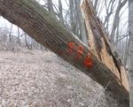 Tree Fall Study, Gordon Natural Area, Tree #58