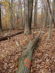 Tree Fall Study, Gordon Natural Area, Tree #13