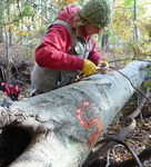 Tree Fall Study, Gordon Natural Area, Tree #5 by Gerard Hertel