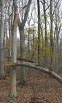 Tree Fall Study, Gordon Natural Area, Tree #17