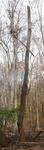 Tree Fall Study, Gordon Natural Area, Tree #15