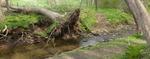 Tree fall at Plum Run (2), Gordon Natural Area
