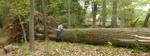 Tree Fall Study, Gordon Natural Area, Tree #59