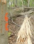 Tree Fall Study, Gordon Natural Area, Tree #60 (2)