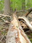 Tree Fall Study, Gordon Natural Area, Tree #63 (2)