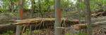 Tree Fall Study, Gordon Natural Area, Tree #61 (1)
