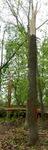 Tree Fall Study, Gordon Natural Area, Tree #62 (1)