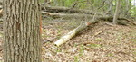 Tree Fall Study, Gordon Natural Area, Tree #62 (2)