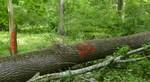 Tree Fall Study, Gordon Natural Area, Tree #64
