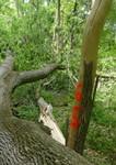 Tree Fall Study, Gordon Natural Area, Tree #65