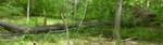 Tree Fall Study, Gordon Natural Area, Trees #64 & #65