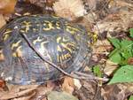 Eastern box turtle in the Gordon Natural Area by Nur Ritter